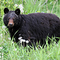 Black Bear In The Dandelion Whistler by Pierre Leclerc Photography