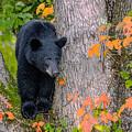 Black Bear In Tree by Randy Gebhardt