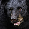 Black Bear by Janet Fikar