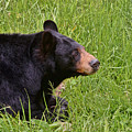 Black Bear by Kerri Farley
