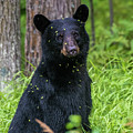 Black Bear by Paul Freidlund