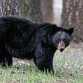 Black Bear by Ronnie and Frances Howard