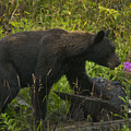 Black Bear-signed-#6549 by J L Woody Wooden