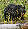 Black Bear Snacking by Bill Dodsworth