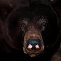 Black Bear Sniff by LeeAnn McLaneGoetz McLaneGoetzStudioLLCcom