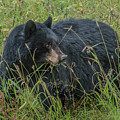 Black Bear Sow by Yeates Photography