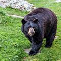Black Bear by Susie Weaver