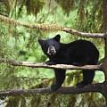 Black Bear Ursus Americanus Cub In Tree by Matthias Breiter
