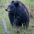 Black Bear Yellowstone Np_grk7085_05222018 by Greg Kluempers