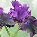 Black Bearded Iris by Cindy Treger