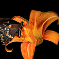 Black Beauty Butterfly by Christina Rollo