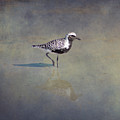 Black-bellied Plover By Darrell Hutto by J Darrell Hutto