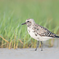 Black-bellied Plover I by Clarence Holmes