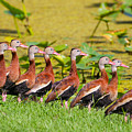 Black Bellied Whistling Ducks by Dart and Suze Humeston