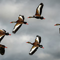 Black Bellied Whistling Ducks by David Hart