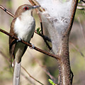 Black Billed Cuckoo II by David L Griffin