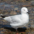 Black-billed Gull by Jill Black