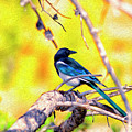 Black-billed Magpie by Christopher Eng-Wong