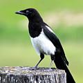 Black-billed Magpie by Karon Melillo DeVega