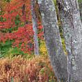 Black Birch Autumn by Bill Wakeley