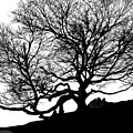 Black Birch Silhouette 2009 07 by Jim Dollar
