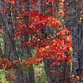 Black Birch Tree Splendor by Juergen Roth