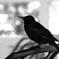 Black Bird Bw by Linda Shafer