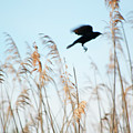 Black Bird In Cat Tails by Michelle Himes