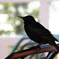 Black Bird by Linda Shafer