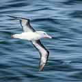 Black-browed Albatross Gliding Over Deep Blue Waves by Ndp