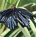 Black Butterfly by Anna D'Amico