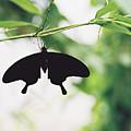 Black Butterfly by Lauri Novak