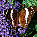 Black Butterfly On Heliotrope by Susan Savad
