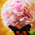 Black Butterfly On Peony by Garry Gay