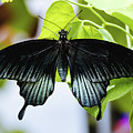 Black Butterfly - Papilio Ascalaphus by Cristina Stefan
