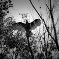 Black Buzzard 4 by Teresa Mucha