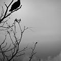 Black Buzzard 7 by Teresa Mucha