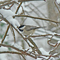 Black Capped Chickadee - Poecile Atricapillus by Mother Nature