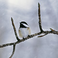 Black-capped Chickadee, Alberta by Darwin Wiggett