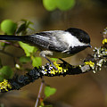 Black Capped Chickadee by Ben Upham III