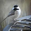 Black-capped Chickadee - Birds Of Arkansas by Lourry Legarde