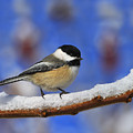 Black-capped Chickadee In Sumac by Tony Beck
