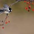 Black-capped Chickadee by Mircea Costina Photography