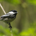 Black-capped Chickadee by Sharon Talson