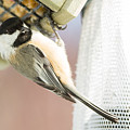 Black Capped Chickadee by Victoria Dauphinee