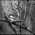 Black Capped Chickadee by Michael Tucker