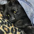 Black Cat Fashion- Leopard And Denim by Joann Vitali
