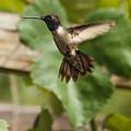 Black-chinned Hummingbird by Robert Bales