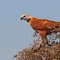Black-collared Hawk, Pantanal by Aivar Mikko