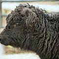 Black Cow by Sue Collura
